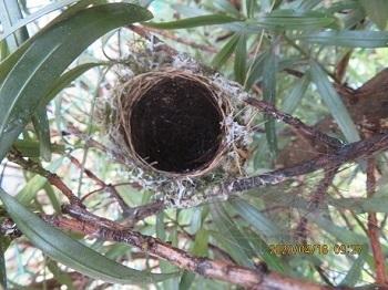 鳥の巣は空っぽになっていた�A.jpg